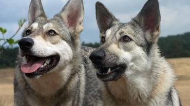 coachen met honden
